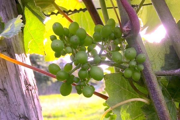 Vineyard IMG_3077